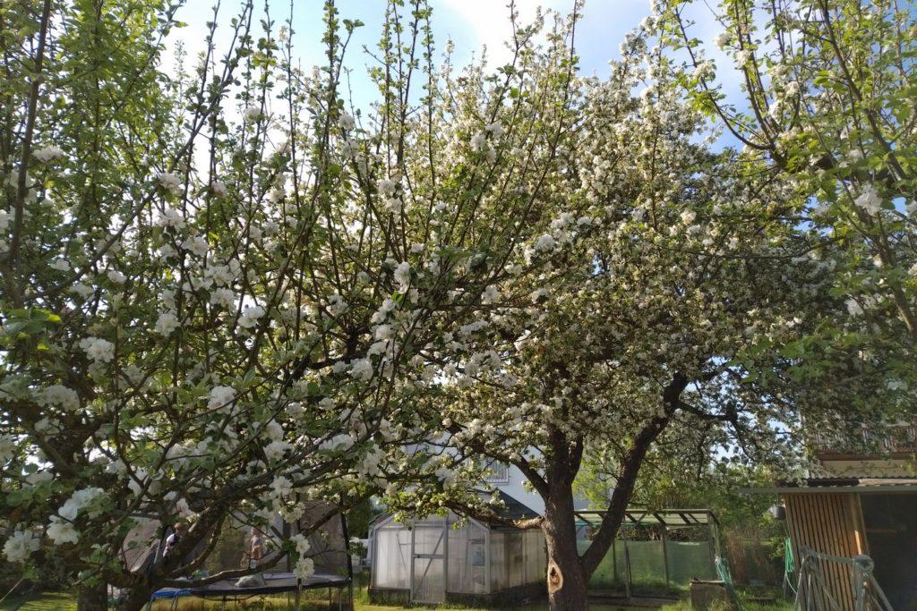 Apfelbaum mit dem Blackberry KeyOne aufgenommen