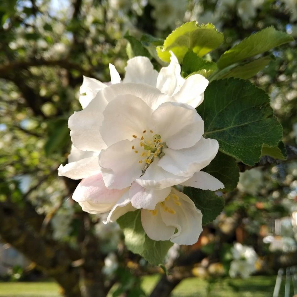 Bild einer Apfelblüte mit dem KeyOne Black Edition aufgenommen
